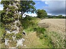 ST0905 : Path by field of grain, Hembercombe by David Smith