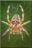 SJ3999 : Garden Spider (Araneus diadematus), Waddicar, Melling by Mike Pennington