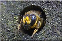 SJ3999 : Leafcutter bee (Megachile sp.), Waddicar, Melling by Mike Pennington