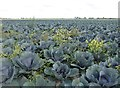 TF2831 : Blue cabbages under a grey Lincolnshire sky by Richard Humphrey