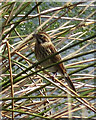 SE8291 : Reed bunting at Dundale Pond by Pauline E