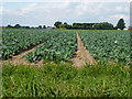 TF2530 : Cabbage crop off Scoldhall Lane near Surfleet by Richard Humphrey