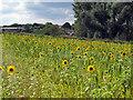 TM4566 : Sunflower field near Eastbridge by Roger Jones