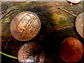 H0780 : Sow with litter coin, Killeter Forest by Kenneth  Allen
