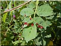 NS3976 : Developing rose bedeguar galls by Lairich Rig