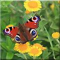 TA0982 : Peacock butterfly on fleabane by Pauline E