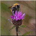 TA0982 : Bee feeding on Knapweed by Pauline E