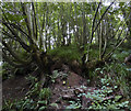 SO8166 : Ancient coppiced woodland in Shrawley Wood by Peter Young