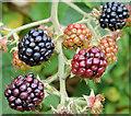 J4582 : Blackberries, Helen's Bay - September 2014(1) by Albert Bridge