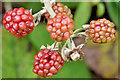 J4582 : Blackberries, Helen's Bay - September 2014(2) by Albert Bridge