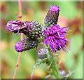 J4582 : Marsh thistle flower, Helen's Bay (September 2014) by Albert Bridge