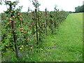 TQ9147 : Apple orchards near Egerton by Marathon