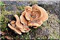 J3875 : Fungi, Belfast - September 2014(1) by Albert Bridge