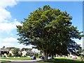 SE2376 : Oak trees in Grewelthorpe by David Clark