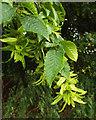 SP2965 : Hornbeam foliage and fruit, Riverside Walk, Warwick by Robin Stott