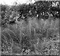 TG2325 : Field horsetail  (Equisetum arvense) by Evelyn Simak