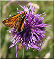 SY8080 : Large Skipper (Ochlodes venata) by Anne Burgess