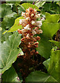 SY6972 : Ivy Broomrape (Orobanche hederae) by Anne Burgess