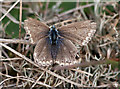 TF7144 : ♀Common blue butterfly at Holme Dunes by Pauline E
