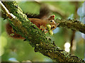 SD1399 : Red Squirrel at Forest How by Peter Trimming