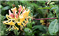 J3470 : Honeysuckle flower, Lagan Meadows, Belfast (September 2014) by Albert Bridge
