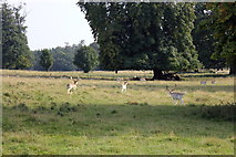 SJ5509 : Deer in the Park at Attingham by Jeff Buck