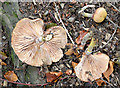 J4772 : Fungi, Killynether Wood, Newtownards - September 2014(1) by Albert Bridge