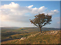 SD7073 : Hawthorn tree at Skirwith by Karl and Ali