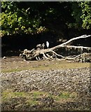SX2553 : Egret, West Looe River by Derek Harper