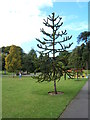 TA2069 : Monkey puzzle tree, Sewerby Hall gardens by JThomas