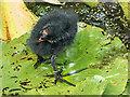 TQ0658 : Moorhen Chick, Royal Horticultural Society Garden, Wisley, Surrey by Christine Matthews