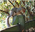SK6038 : Squirrel and nut by Gerald England