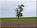 TQ0190 : A lone oak by Robin Webster