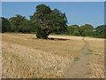 SU9746 : Freestanding oak, Loseley Park by Alan Hunt