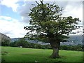 SE1149 : Oak tree south of Slates Lane, above Ilkley by Christine Johnstone