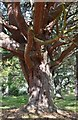 NN8590 : Old Scots pine, Glen Feshie by Jim Barton