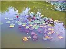 SU9185 : Red Water Lilies by Len Williams