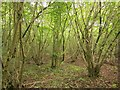 ST7488 : Coppiced woodland, South Moon Ridings by Derek Harper