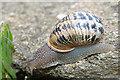 SY6869 : Garden Snail (Helix aspersa) by Anne Burgess