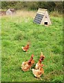 ST7488 : Free range hens near Lower Woods by Derek Harper