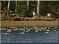 NS3778 : Canada Geese on Carman Reservoir by Lairich Rig