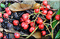 J3471 : Cotoneaster berries, Stranmillis, Belfast (October 2014) by Albert Bridge