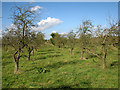 TL3769 : Orchards south of Over by John Sutton