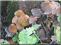 SP9314 : Ink Cap Fungi at College Lake by Chris Reynolds