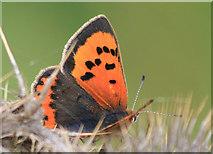 TA1281 : Small copper butterfly by Pauline E