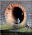 SK5804 : Pigeon in an outlet pipe by Mat Fascione