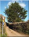 SX8050 : Monterey Cypress, Blackawton cemetery by Robin Stott