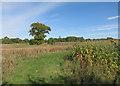 TL3635 : Maize cover crop by Hugh Venables