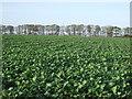 TA1366 : Crop field near Sands Wood by JThomas