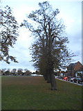 TQ1572 : Trees on Twickenham Green by David Howard